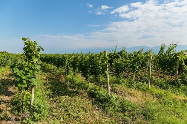 Winnice obszaru winiarskiego gruzji winnice kakheti kvareli w pobliżu pasma górskiego kaukazu