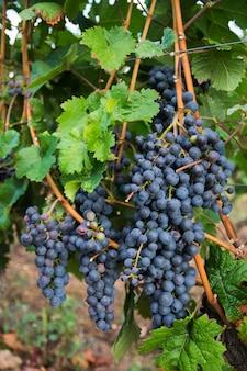 Winnice w jesiennych zbiorach. duże kiście czerwonych winogron w słoneczny dzień.