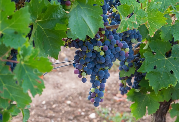 Winnice w jesiennych zbiorach. duże kiście czerwonych winogron.