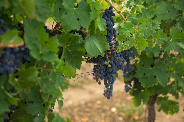 Winnice w jesiennych zbiorach w niemczech. duże kiście czerwonych winogron w słoneczny dzień.