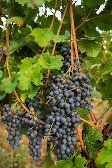 Winnice w letnie zbiory. duże kiście czerwonych winogron w słoneczną pogodę.