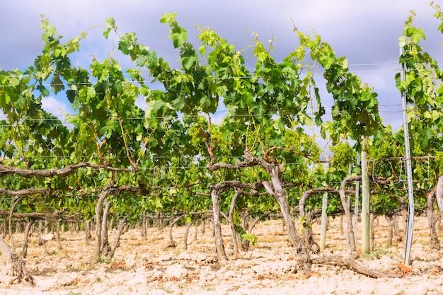 Winnice w pobliżu haro