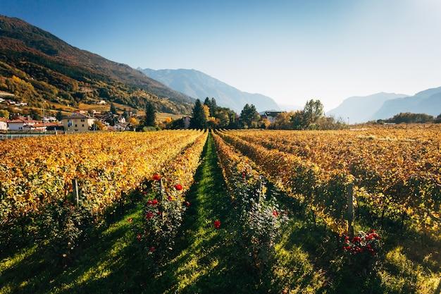 Winnice w trento jesienią