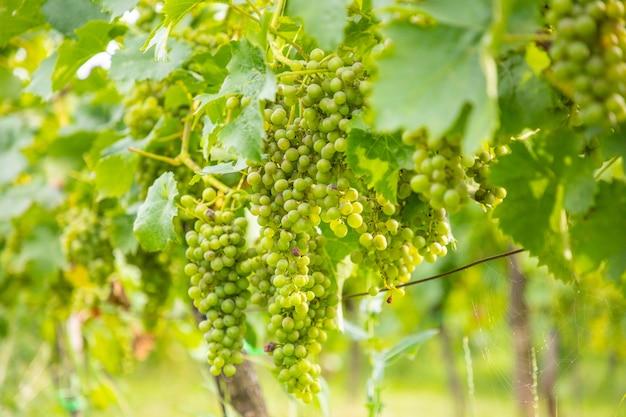 Winnice wina młode krzewy winorośli plantacji winogron w pradze czechy