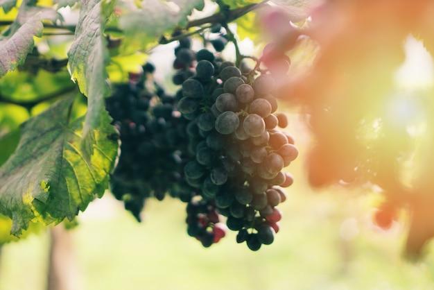 Winnice z dojrzałymi winogronami czekają na żniwa w lecie w promieniach słońca na farmie ekologicznej - kilka czerwonych winogron
