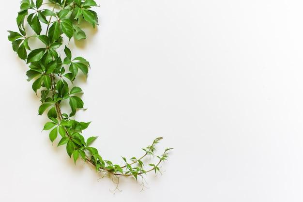 Wino rośliny roślina na białym tle z odbitkową pustą przestrzenią