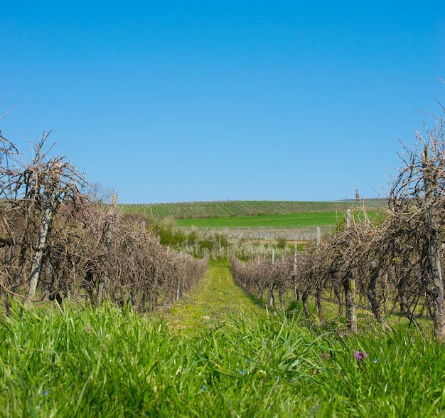 Winogradów winogron drzewa z słońce krajobrazem w wiosna czasie.