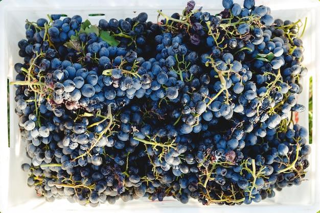 Winogrona niebieskie. winogrona cabernet w pudełku po jesiennych zbiorach, gotowe do użycia do produkcji wina.