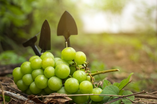 Winogrona ogrodowe umieszczone na ziemi