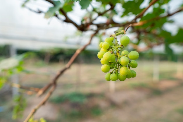Winogrona rosną na sprzedaż konsumentom. sadzenie ekologiczne bez szkodliwych chemikaliów.