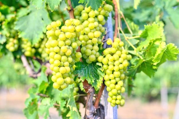 Winogrona rosnące w winnicy. świeże, słodkie zbiory jesienią