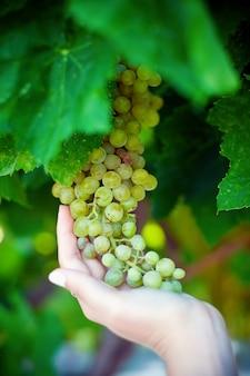 Winogrona w ręku