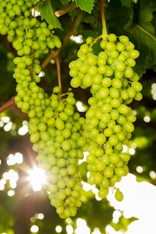 Winogrona w sloncu