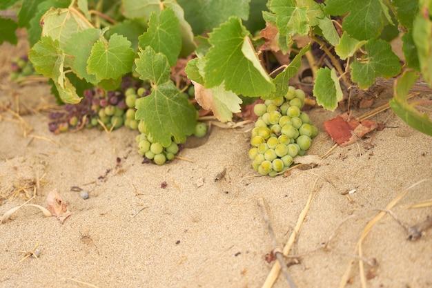 Winogrona w winnicy na piasku na krecie z bliska.