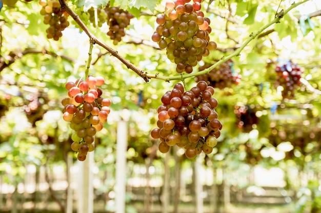 Winogrona w winnicy zdrowej koncepcji ekologicznej owoców.