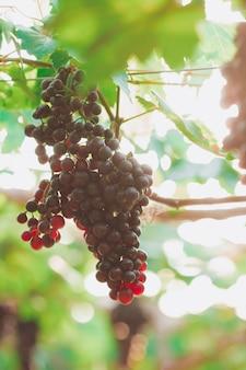 Winogrona wiszące w pęczkach z zielonymi, nasłonecznionymi liśćmi, niedojrzałymi, dojrzewającymi i dojrzałymi winogronami