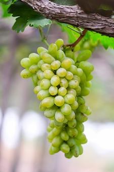 Winogrona z zielonymi liśćmi na winorośli świeżych owoców