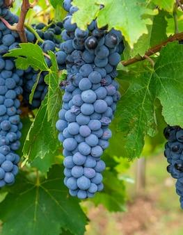 Winogrono cannonau w winnicy, jerzu na sardynii we włoszech