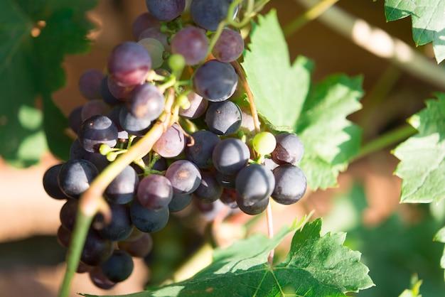 Winogrono w winnicy bio