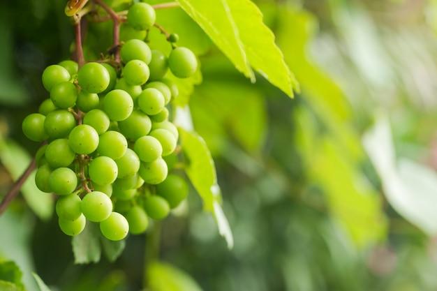 Winorośl i kiść białych winogron w ogrodzie w letnim słońcu