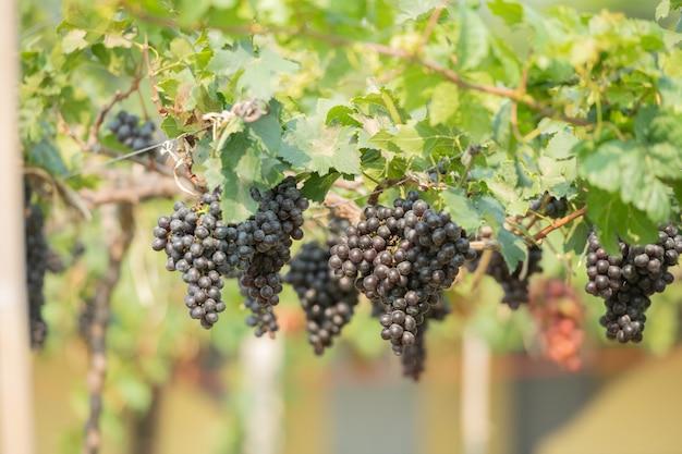 Winorośl i kiść białych winogron w ogrodzie winnicy.