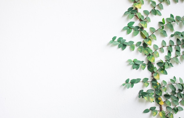 Winorośl na białej ścianie z copyspace