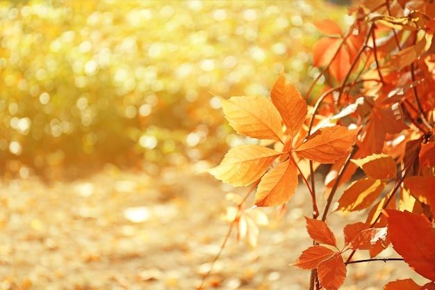 Winorośl o jasnych liściach w słoneczny jesienny dzień