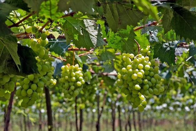 Winorośl pełna kiści winogron stołowych