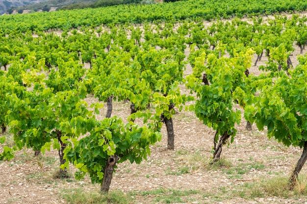 Winorośl w polu