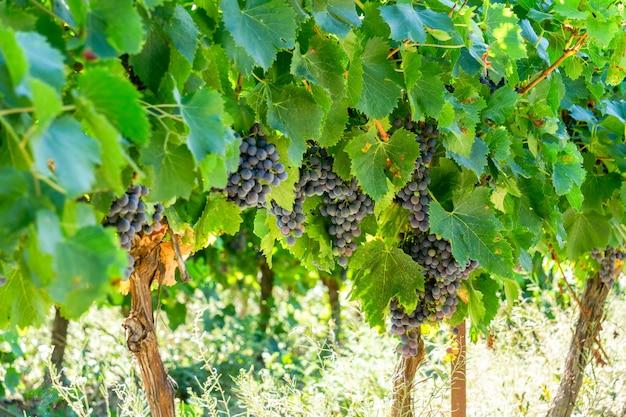 Winorośl w winnicach szampana w montagne de reims we francji