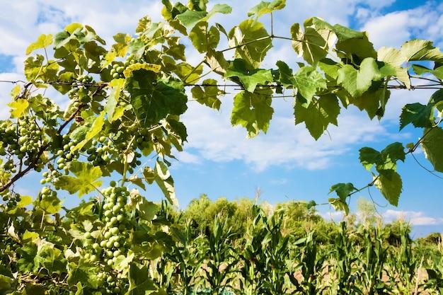 Winorośl z zielonymi winogronami na tle pochmurnego nieba
