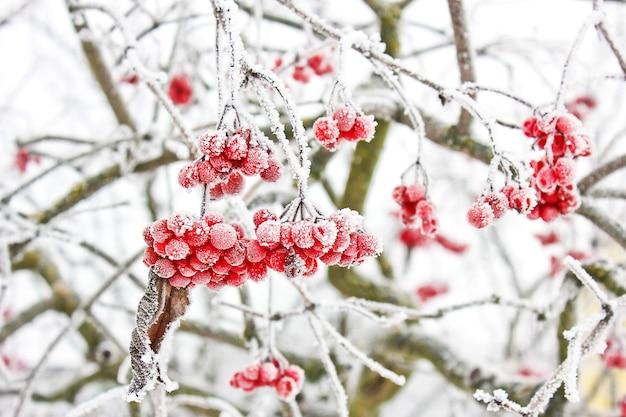 Winter frozen viburnum under snow. kalina w śniegu. pierwszy śnieg. jesień i śnieg. piękna zima