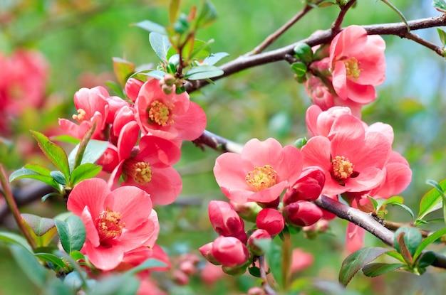 Wiosenna gałązka z małymi czerwonymi kwiatami w parku (zbliżenie)