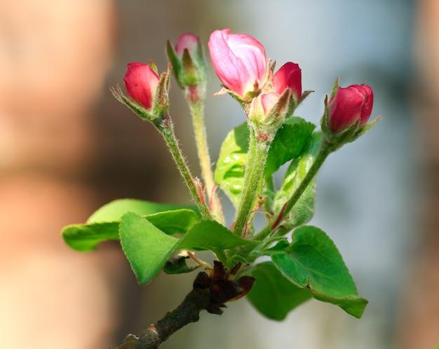 Wiosenna kwitnąca gałązka jabłoni z kwiatami