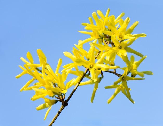 Wiosenna kwitnąca gałązka żółtego krzewu forsycji (na powierzchni błękitnego nieba)
