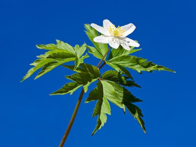 Wiosenna kwitnąca roślina anemonowa z białym kwiatem na powierzchni błękitnego nieba