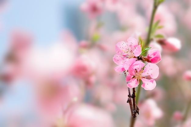 Wiosenna kwitnąca wiśnia