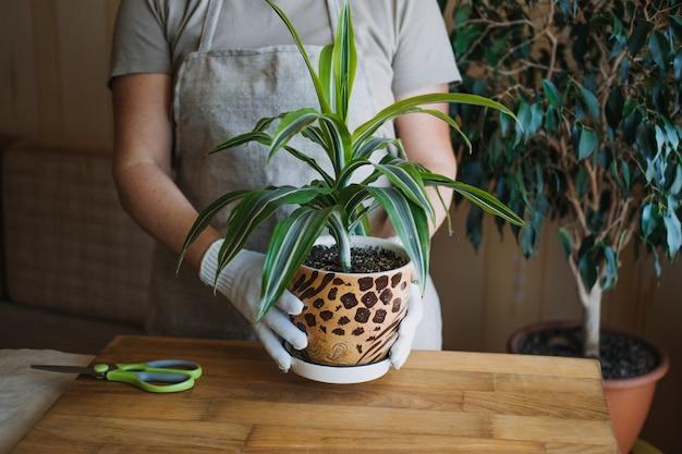 Wiosenna pielęgnacja roślin domowych budząca rośliny domowe na wiosenne kobiece dłonie spryskuje i myje liście