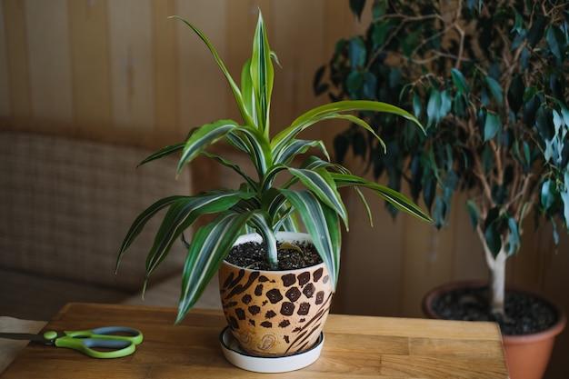 Wiosenna pielęgnacja roślin domowych budzi rośliny domowe na wiosenne kobiece dłonie spryskuje i myje liście