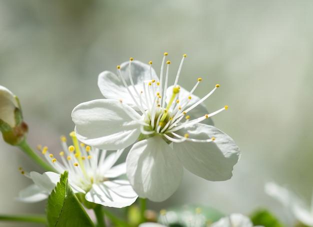 Wiosenna pogoda piękne wiosenne kwiaty wiśni