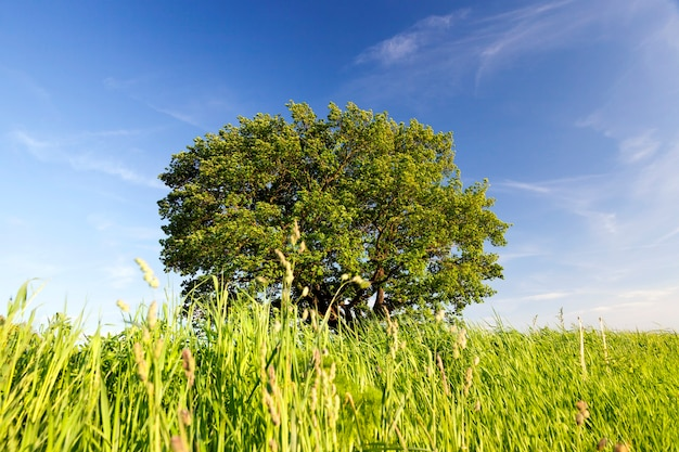 Wiosenna scena z dużym pięknym dębem rosnącym na polu z trawą