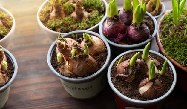 Wiosenne cebulki gotowe do sadzenia.