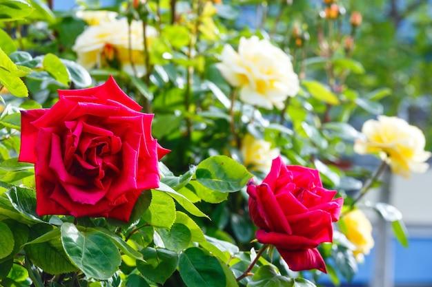 Wiosenne czerwone i żółte kwiaty róży zbliżenie
