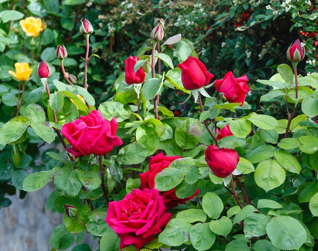 Wiosenne czerwone kwiaty róży (zbliżenie) w parku
