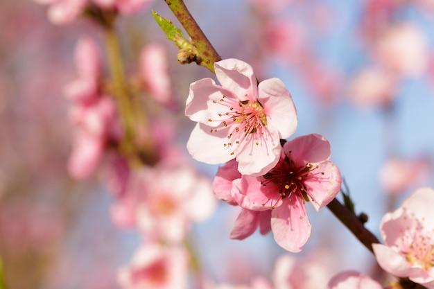 Wiosenne drzewo z różowymi kwiatami