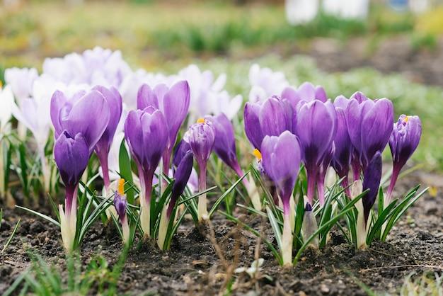 Wiosenne fioletowe krokusy z bliska w ogrodzie kwitną na wiosnę. selektywne skupienie