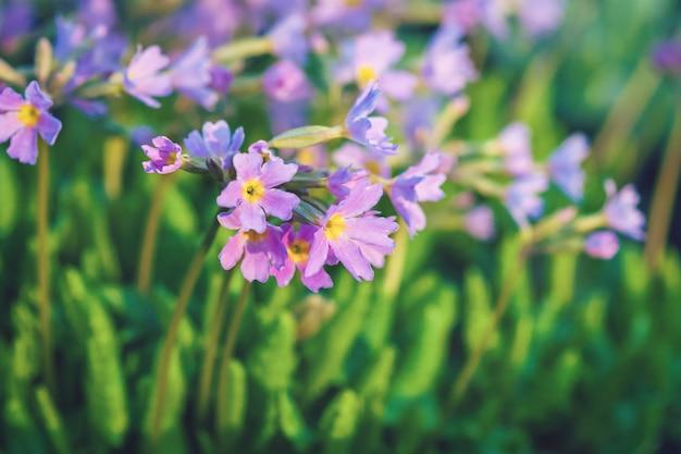Wiosenne fioletowe kwiaty na wiosnę - primula farinosa