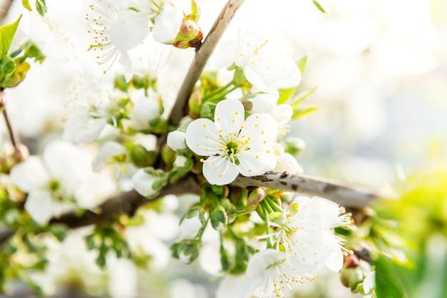 Wiosenne gałęzie kwitnących drzew. wiśniowe drzewo w białych kwiatach. rozmyte tło