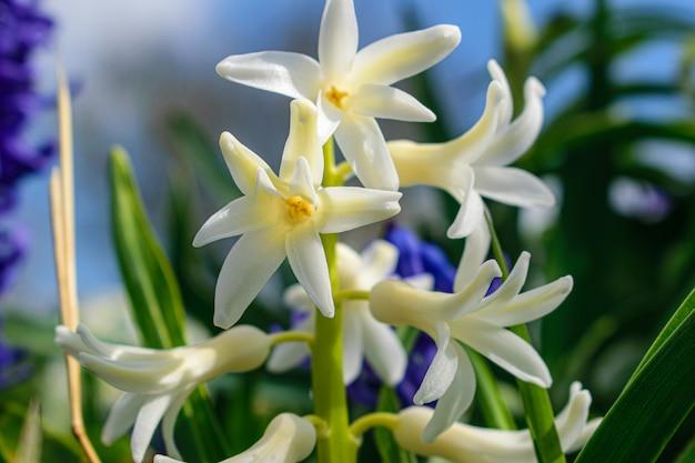 Wiosenne krokusy kwitną na niebieskim tle