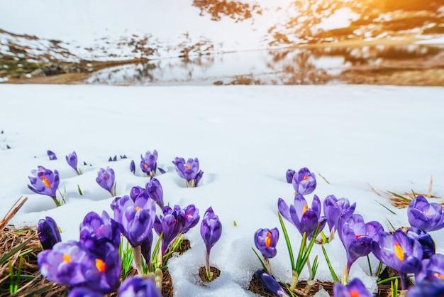 Wiosenne krokusy w topniejącym śniegu